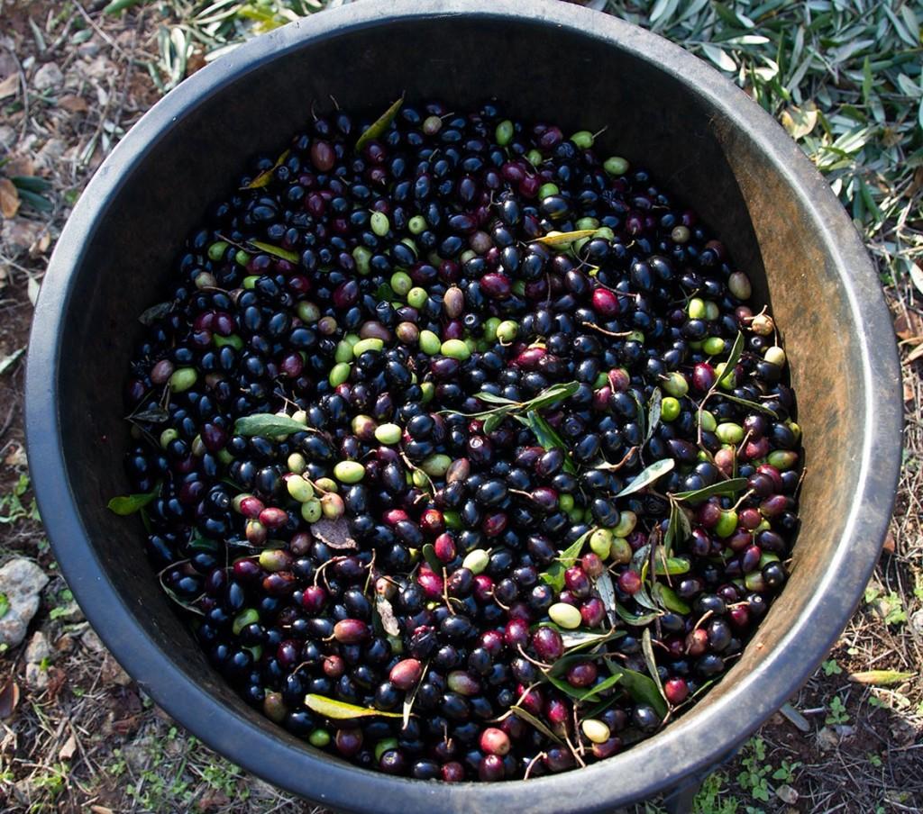 Olio Salve, Olio extravergine di oliva, Salento, Salve, Polesine, setaccio, raccolta delle olive,