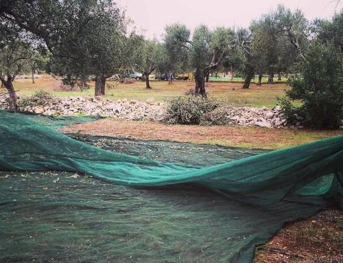 Dall'albero al frantoio: ecco come avviene la raccolta delle olive. #3