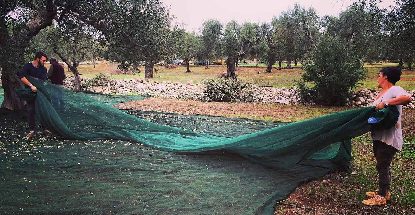 Olio Salve, Olio extravergine di oliva, Salento, Salve, Polesine, la raccolta delle olive, maturazione, raccolta, stoccaggio, brucatura a mano, reti, ulivi, olive, invaiatura,