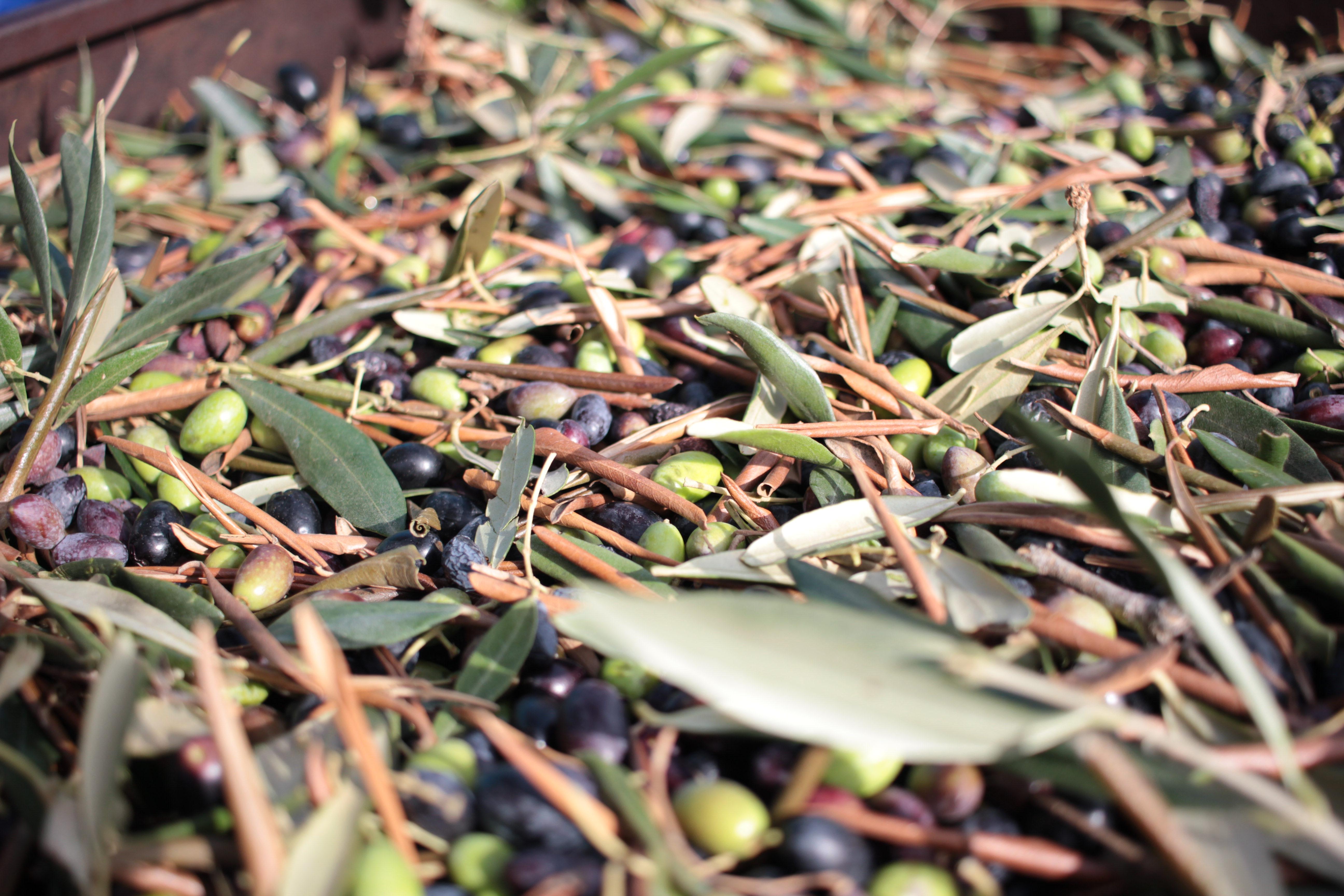 Olio Salve, Olio extravergine di oliva, Salento, Salve, Polesine