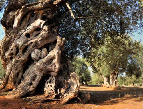 Storia dell'olivo e dei suoi frutti